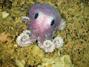 Пурпурный осьминог